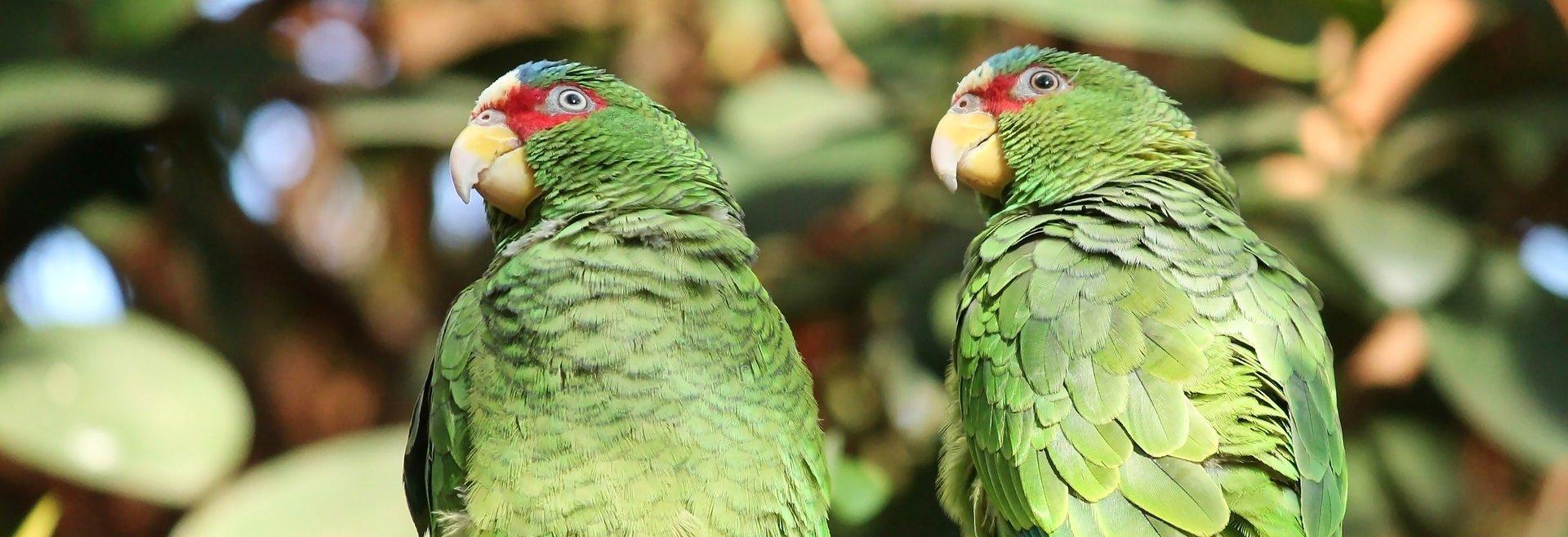 Riproduzione pappagalli