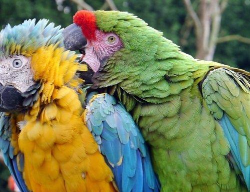 La Famiglia dei Psittacidae: caratteristiche