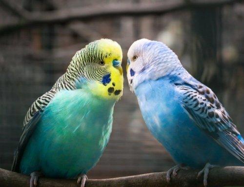 Curiosità sui pappagalli: generalità, suoni, riproduzione