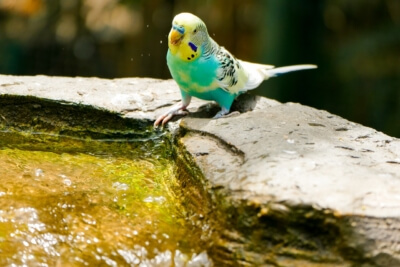 Igiene pappagalli