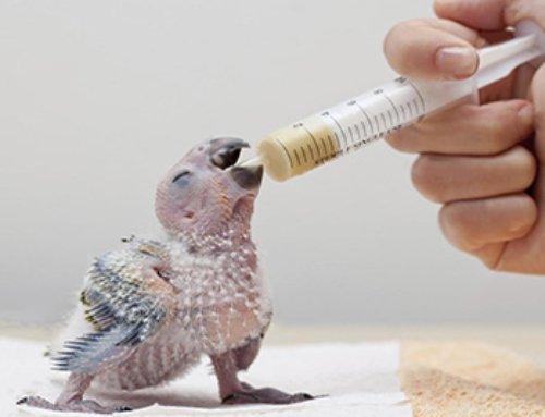 Consigli su come allevare pulli di pappagallo allo stecco