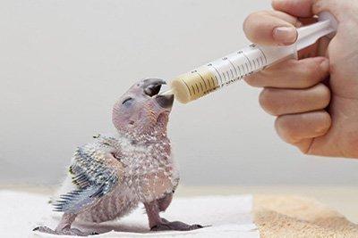 pappagalli allevati a mano