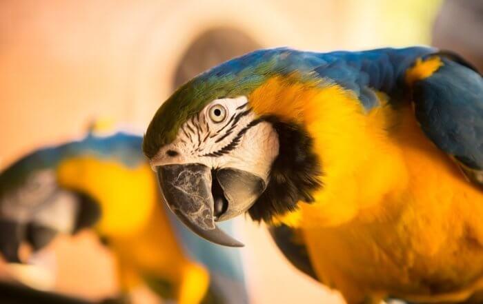 pappagalli che parlano
